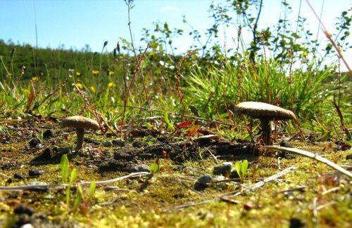грибы суеты