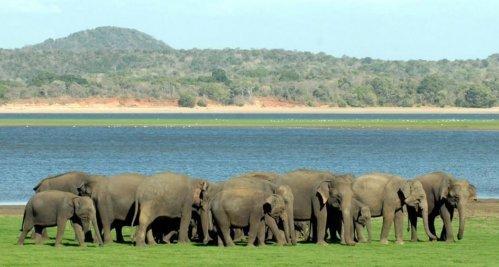 стадо слонов в поле